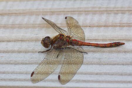 sympetrum: A male Common Darter Dragonfly (Sympetrum Striolatum) Stock Photo