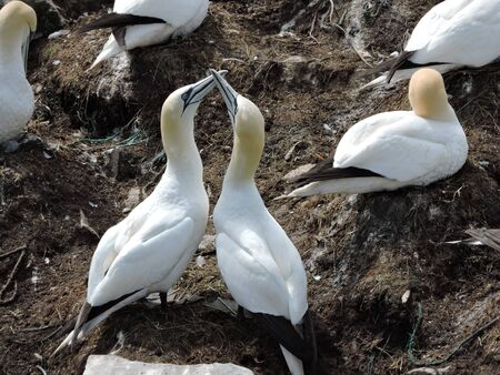 courting: gannets courting