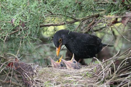 a blackbird feeding little birds in their nest Stock Photo