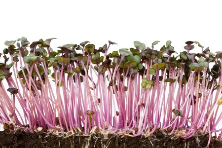 closeup of a row of red cabbage sprouts Stock Photo - 3793094