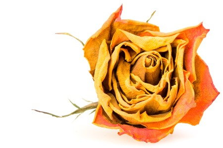closeup of a dried red rose on white background
