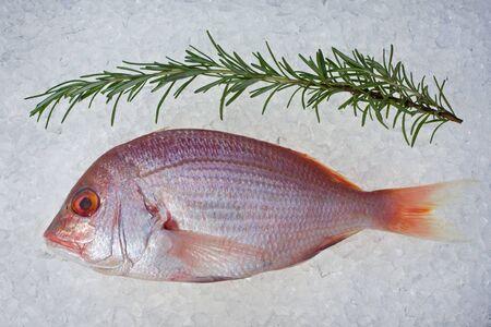 single raw gilthead fish on crushed ice