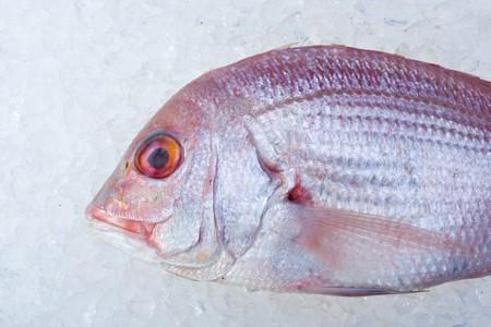 single raw gilthead fish on crushed ice photo