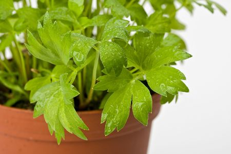a lovage plant in a pot photo