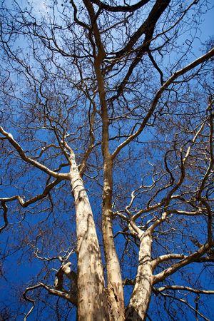sicomoro: sicomoro ed un cielo blu chiaro
