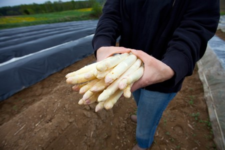 white asparagus held by a farmer on a field
