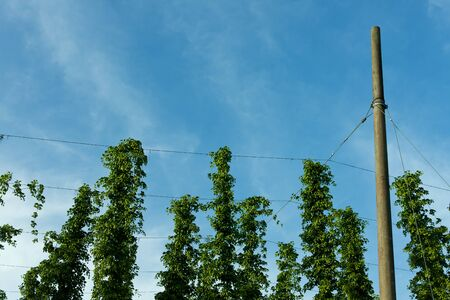 ingedient: detail of a hop field in hallertau