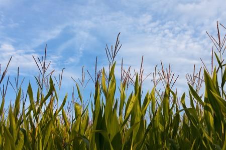 detail of a corn field in hallertau