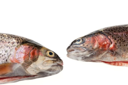 two rainbow trouts isolated on white photo