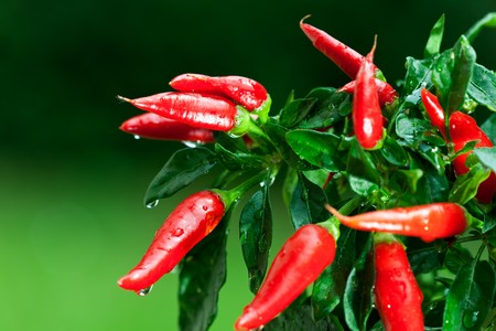 ripe red hot chili peppers on a tree photo