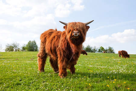 long haired cow on a meadow photo