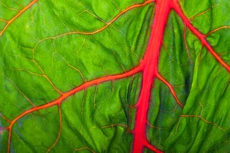 closeup of a backlit mangold leaf 免版税图像 - 10981239