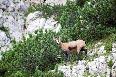 chamois in the italian alps Stock Photo - 13814087
