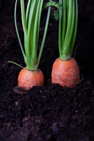 two carrots in a bed  Stock Photo - 13814097
