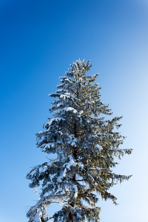 snow covered spruce in winter Stock Photo - 18937549