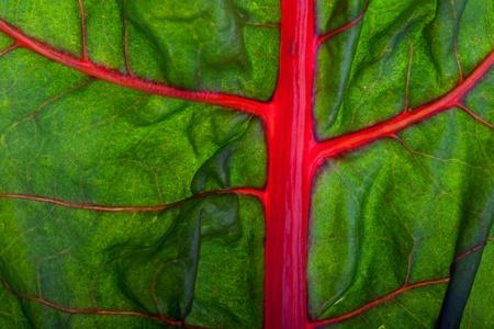 blood vessels: closeup of a backlit mangold leaf  Stock Photo