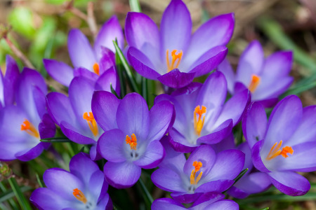 lot of purple crocus flowers in spring