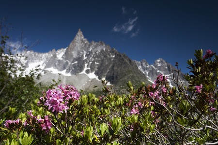 aiguille: alpine rose in the chamonix vallee