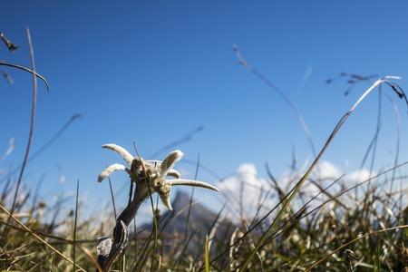 edelweiss flower in the karwendel alps