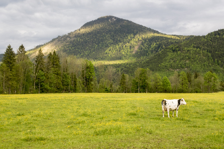 cow on a meadow in bavaria