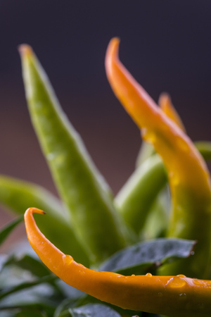 closeup of an orange chili plant