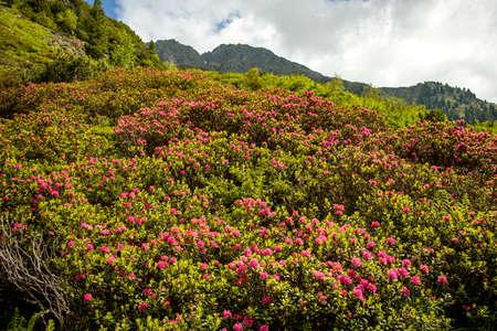 alpenrose flowers in austria