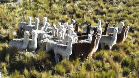 alpaca animal: Ecuador, Alpaca animal beauty symbol in the Andes