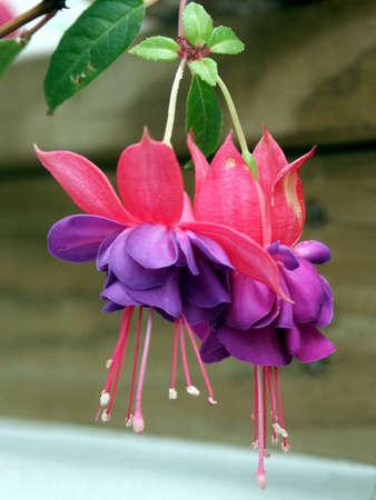 Fuschia - Closeup auf einige elegante und zarte hängen nach unten rot und lila fuchsia Blumen in voller Blüte