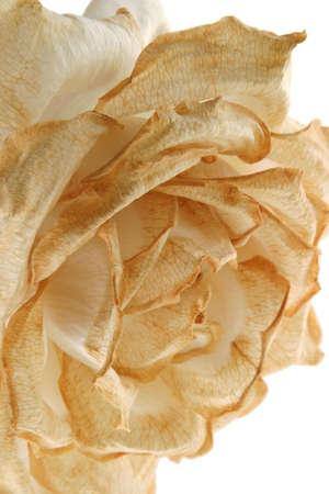 フェージング ローズ - 垂直 - このバラ満開にそっとその光沢のある白のトーンになって、アイボリー パステル饗宴、楽しい変換 ! 写真素材