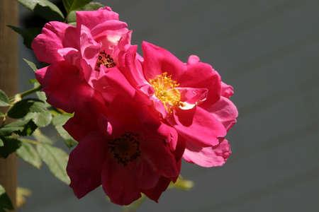 로사 윌리엄 배핀 (Rosa William Baffin) - 로즈 로즈 등반 -이 극단적으로 겨울의 강건한 재발하는 블룸머는 최대 30 개의 클러스터에서 태어난 이중 깊은 핑