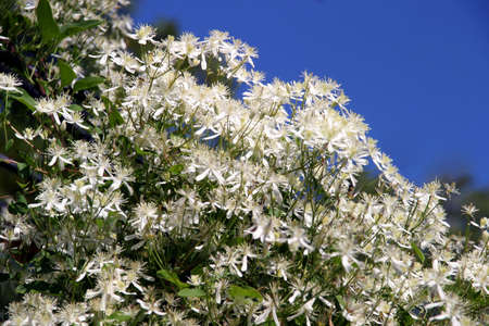Clematis Terniflora - white - Sweet Autumn Clematis - sweet-scented perennial climbing vines with thousands of small white showy flowers late Summer through Fall.  The heavenly perfume is unforgettable.