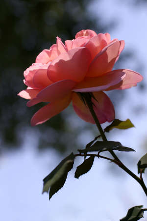 Pink Rose - This elegant and charming Abraham Darby rose blossom opens to drink in the morning rays of sun.