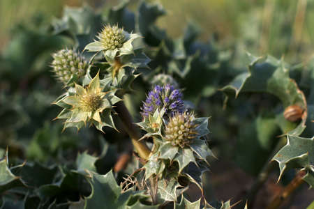Sand Dune Thistle - Blue thistle blooming on the French Atlantic coastline.  Helps stabilize the dunes against erosion. photo