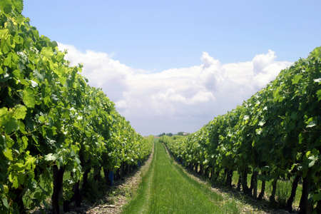 Vineyard Row - Looking through a row of vines in a French vineyard Stock Photo