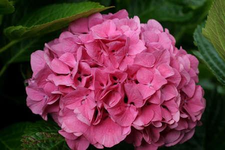 Hortensia - close-up on a pink Hydrangea flowerhead growing in a rich alkaline soil