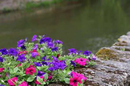 Petunias - decorative flowers along the rivers  edge.