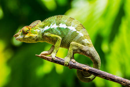 Endemic chameleon of Madagascar poses on a branch in Nosy Be.