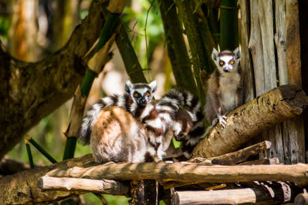 A family of Catta lemurs is looking at the camera in Madagascar