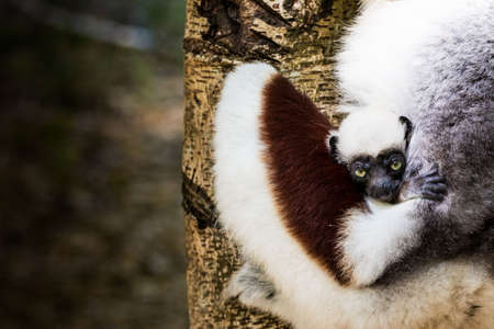 A Sifaka lemur puppy feels safe hugging his mother in a  Madagascar reserve