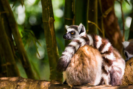 Lazy Catta lemur sited on a branch in Madagascar Stock Photo