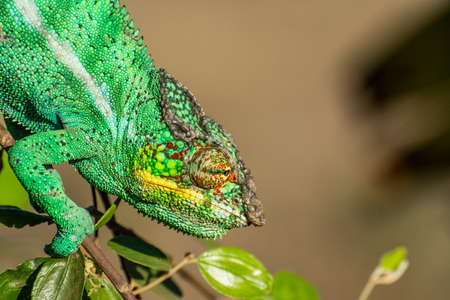 Endemic chameleon looking for a quarry in Madagascar