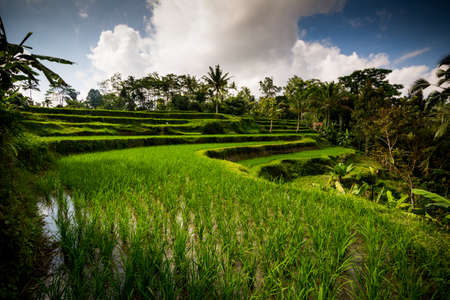 Traditional cultivation of Rice on the island of Bali. To use the terrain in the best way Indonesian people use terracing.