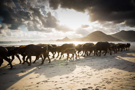Flock of buffalos slowly come back to the stall after a day spent on the beach of Selong Balenak
