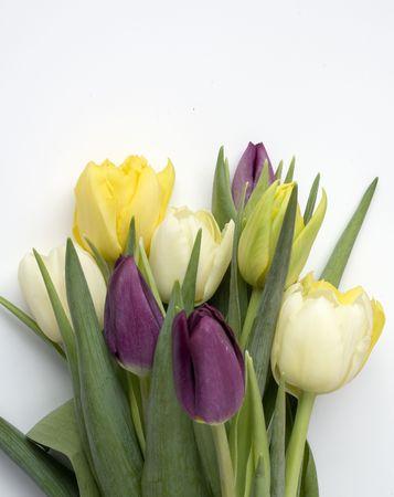 Beautiful Tulips isolated on white Stock Photo
