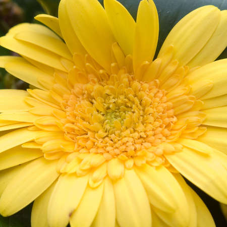 Pretty Yellow Gerber Daisy Stock Photo