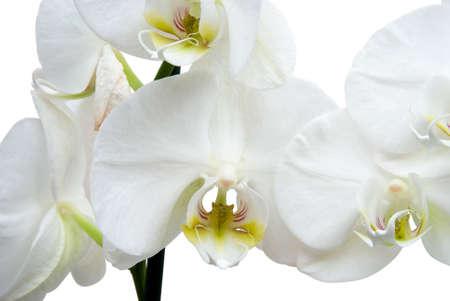 Phalaenopsis Orchid isloated on white