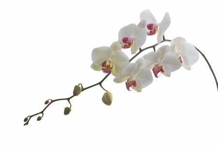 Bright white phalaenopsis orchid isolated on white