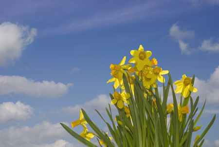 Fresh daffodils on a beautifull sunny morning in spring against a blue sky.