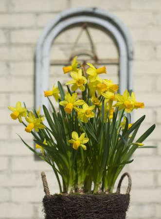 Fresh daffodils on a beautifull sunny morning in spring.