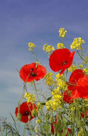 A bee is searching for nectar in these nice red Poppies. Together with some fresh  yellow vegetation against a sunny blue sky.